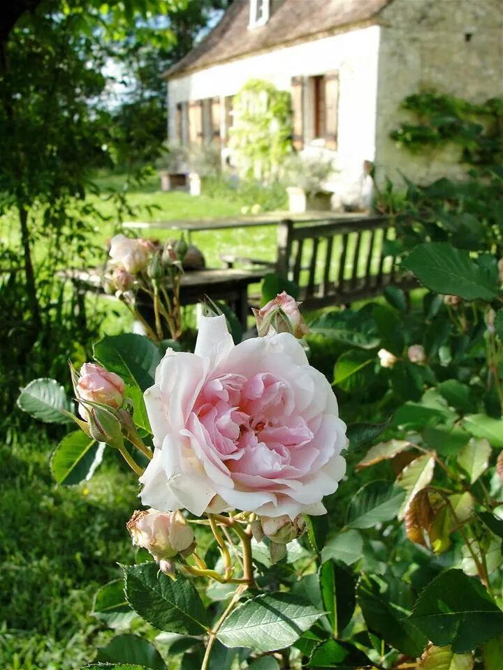Roses in the cottage garden