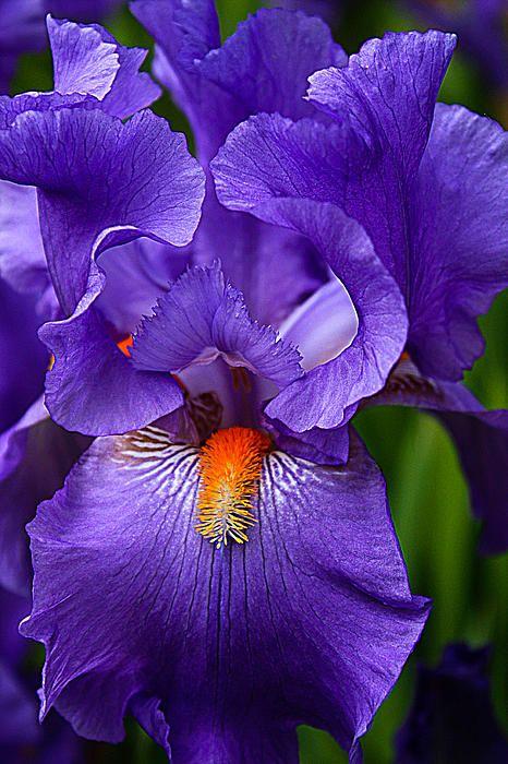 Purple Iris  zwaardlis (germanicagroep) bloeit in mei.  Als de wortelstokken een dichte mat hebben gevormd, moeten ze worden gerooid. Trek de planten uit elkaar en plant groeikrachtige neuzen opnieuw. Snijd het blad gedeeltelijk af. Wortelstokken slechts oppervlakkig in de grond duwen. (moeten zichtbaar blijven) Wortels staan graag in de zon.