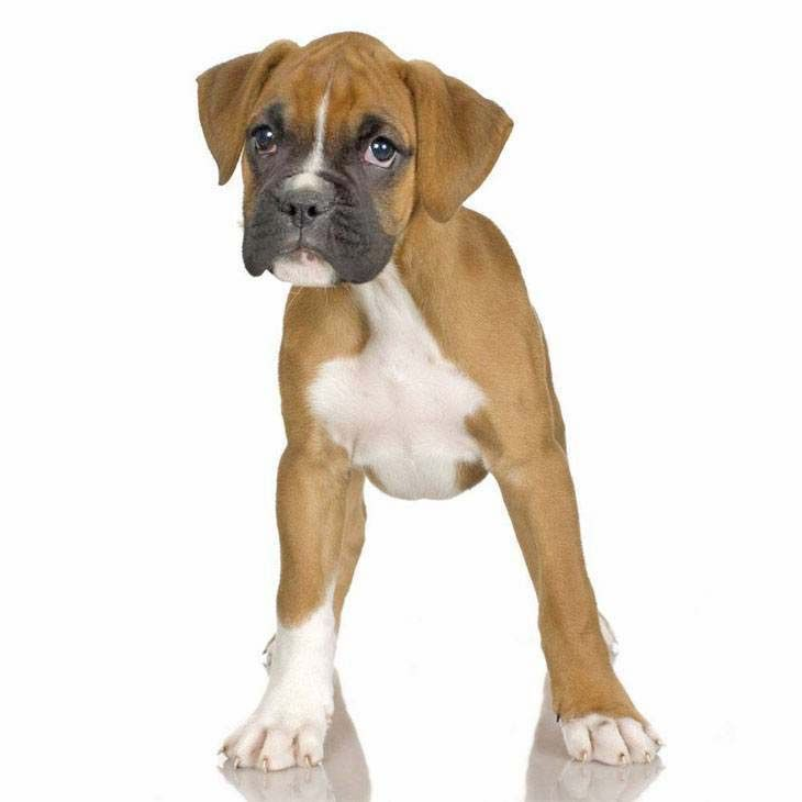 Best Dog Names For Male Boxers
