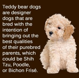 Teddy Bear Dog Breed. Saw one of these for the very first time at Petland in Topeka and fell in love with him right away. At first I was really confused about what he was. Because like, what the hell is a teddy bear dog? But he was a sweet little guy! Great dog breed.