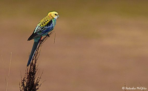 Pale headed Rosella by TypicalTash