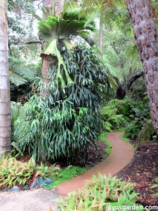 Staghorn Ferns Had Me At Hello - is this crazy or what?!  This gorgeous fern lives at Lotusland, in neighboring Montecito. Get Staghorn Fern care & growing tips here. There's also a video to guide you.