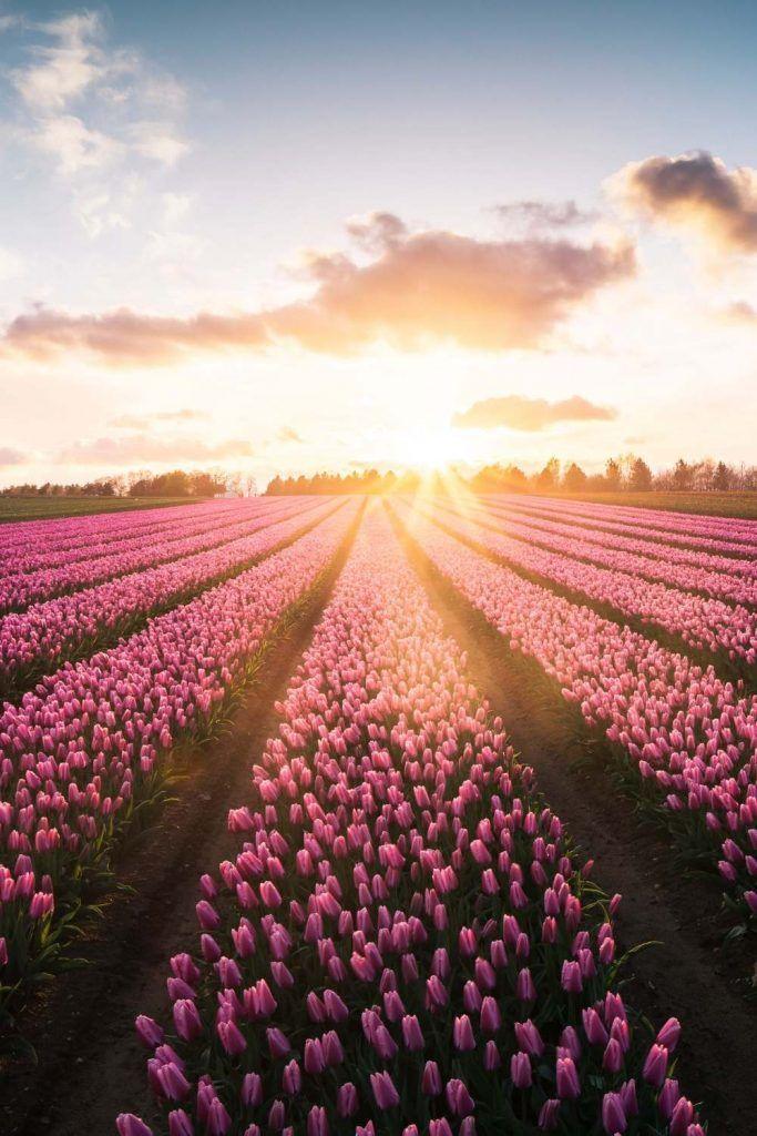 Tulip Netherlands Tulip Netherlands Tulpe Niederlande Tulipe