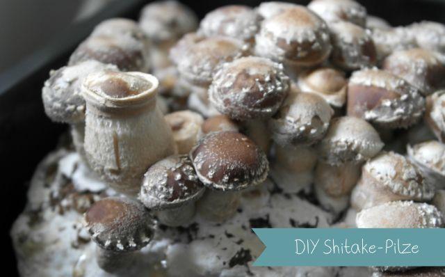 Shitake-Pilze im Wohnzimmer züchten
