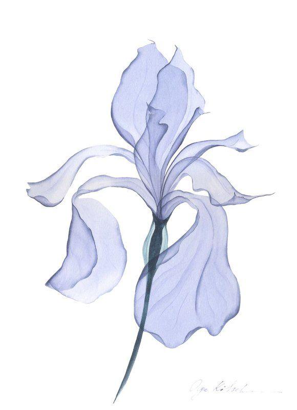 Transparent Iris 2019 Watercolour By Olga Koelsch Simple Watercolor Flowers Iris Drawing Iris Flowers