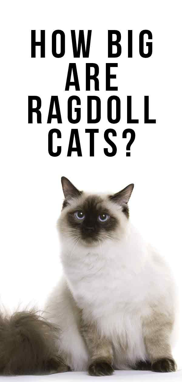 How Big Are Ragdoll Cats Your Ragdoll Size Guide Ragdoll Cat Ragdoll Cat Pictures For Kids
