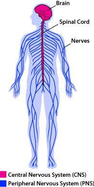 nervous_system_anatomy.jpg