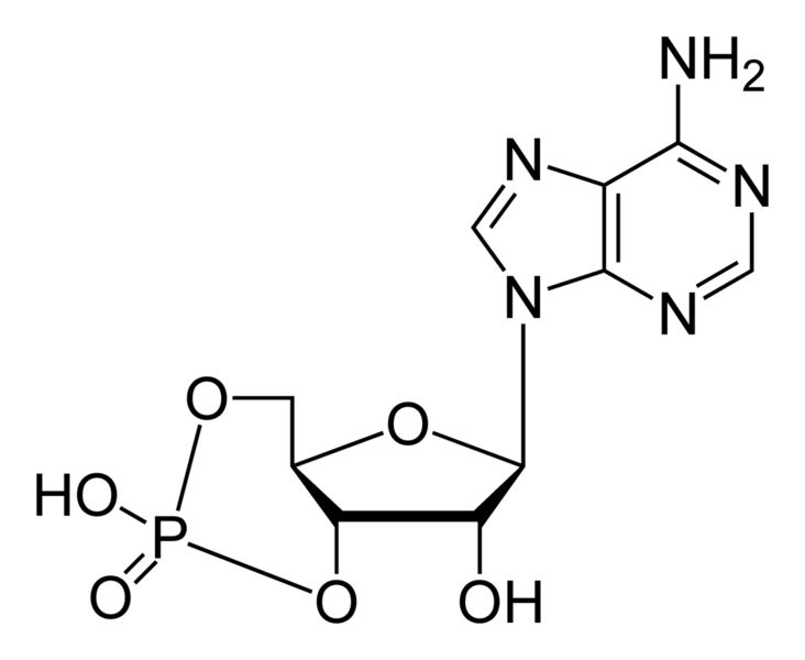 Cyclic adenosine monophosphate (cAMP) is a second messenger important in many biological processes. cAMP is derived from adenosine triphosphate (ATP) and used for intracellular signal transduction in many different organisms, conveying the cAMP-dependent pathway.