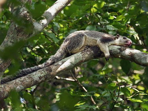 Sri Lanka Giant Squirrel (Ratufa macroura), Matale District, Central Province, Sri Lanka.