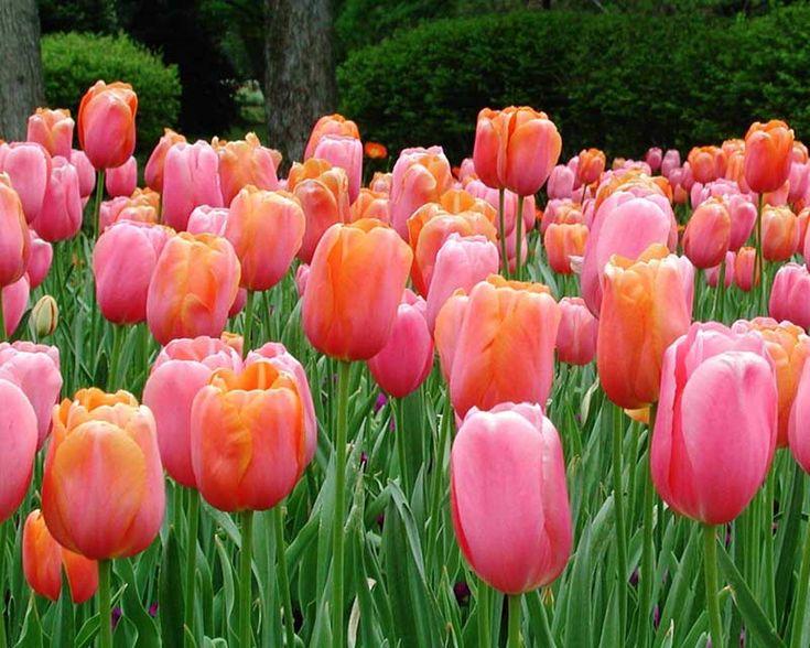 39 Best Tulip Images On Pinterest