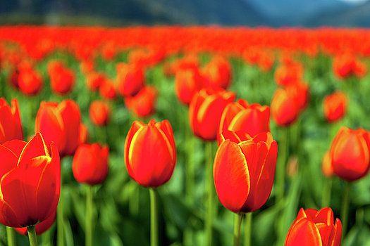 Art Calapatia - Orange Tulips 3