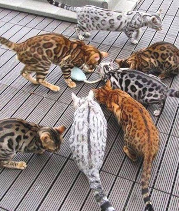 Terrific Images Bengal Cats Spotted Concepts Primary Let S Talk