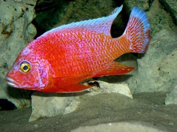 Strawberry Peacock Cichlid Cichlid Fish Aquarium Fish For Sale African Cichlids