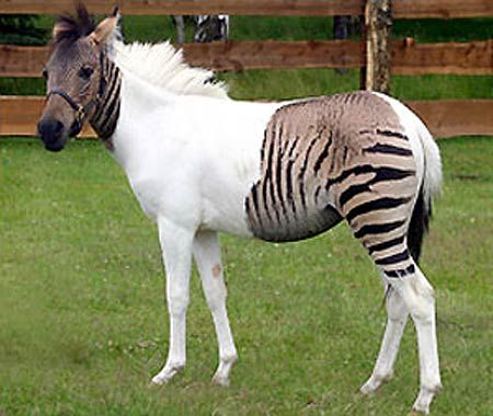 Dad was a zebra stallion, mum was a horse ... so their odd-looking offspring is known as a zorse. The animal, called Eclyse, can be seen at a safari park in Schloss Holte-Stukenbrock, Germany.