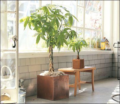 [F]パキラ 観葉植物代表だと思います。この光の当たり方が優しくて素敵です…