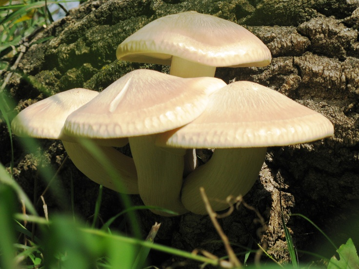 17 best images about oyster mushroom on pinterest nature pattern grow your own and calamari - Growing oyster mushrooms profit ...
