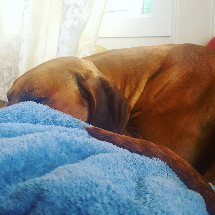 Do not disturb💜 (even though no beauty sleep is needed when you're this gaaaawjuss to begin with) #Kingsley #napping #RR #RhodesianRidgeback #RhodesianRidgebacksofinstagram #Ridgeback #løvehund #liondog #dogsofinstagram #babysleeping #sleeping #cutie #sleeptight