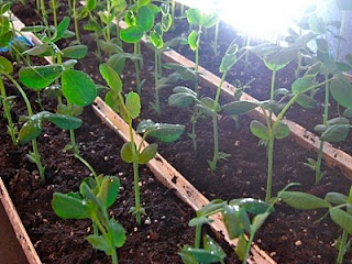sowing peas in gutters then transplanting: Advocate Sow, Gardens In Rain Gutter, Peas Sow, Techniques Rocks, American Gardens, Sow Peas, Sow Techniques, Direction Sow, British Gardens