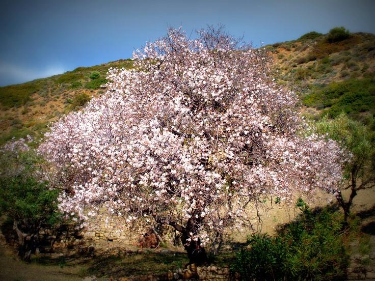 Almond Tree - Karpathos Island