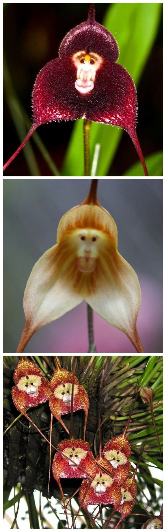 Don't feed the monkey orchids Wandering through the cloud forests of Ecuador and Peru could provide a healthy shock if you happen upon a cluster of the very rare Monkey Orchid (Dracula simian), which...