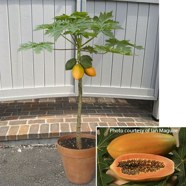 Dwarf Papaya Red Lady (Carica papaya): 4: Pot: Logee's
