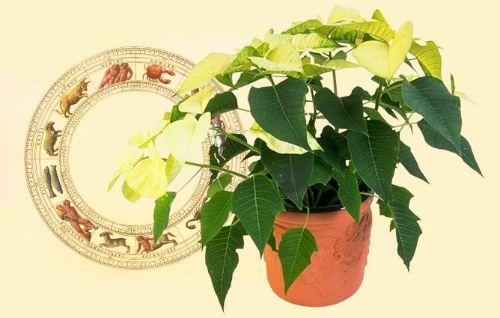 Комнатные цветы-талисманы знаков зодиака:http://www.kakprosto.ru/kak-818811-komnatnye-cvety-talismany-znakov-zodiaka