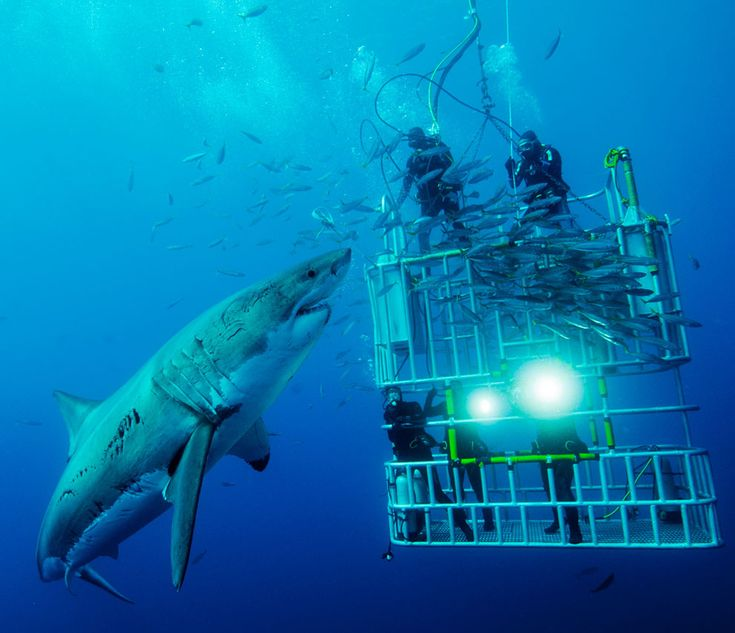 Cage dive with sharks.