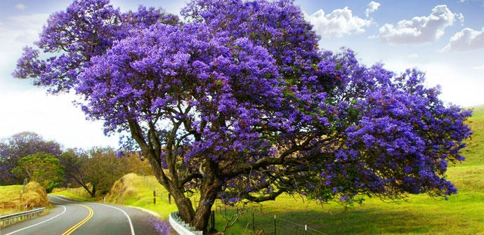 106 best up country maui images on pinterest for Albero con fiori blu