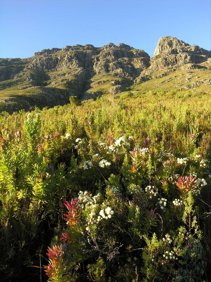 mountain fynbos