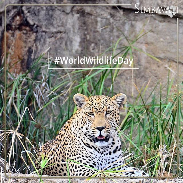 On World Wildlife Day we celebrate and raise awareness of the worlds wild animals and plants. . . . #WorldWildlifeDay #Animals #Wildlife #Wild #Simbavati #Safari #SafariPhotography #Plants #Nature
