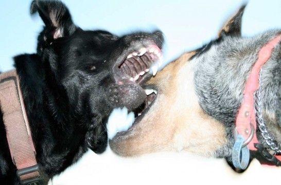 Mordeduras entre perros, consecuencias y soluciones | EROSKI CONSUMER. Los enfrentamientos entre perros pueden provocar graves traumatismos, como heridas profundas