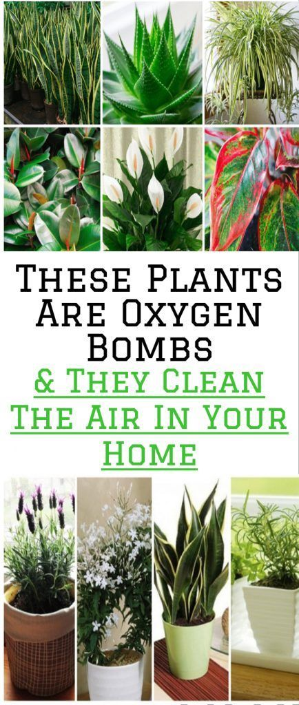 These Plants Are Oxygen Bombs & They Clean The Air In Your ...