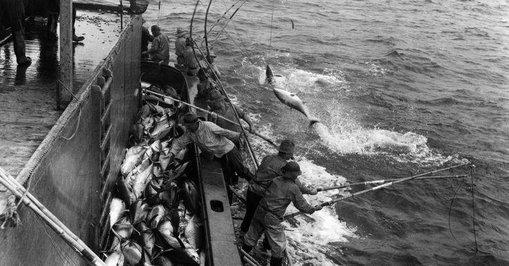 Como ajustar um anzol para pesca marítima de atum. A preparação apropriada de linha, anzol e isca é necessária para a pesca marítima do atum. O peixe se fisgará sozinho se o anzol estiver bem colocado, portanto, a habilidade principal é manter o peixe na linha ao recolhê-la.