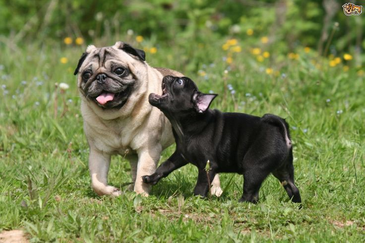 Pug Breed Information Facts