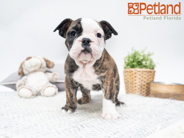 Victorian Bulldog Puppies For Sale Florida References