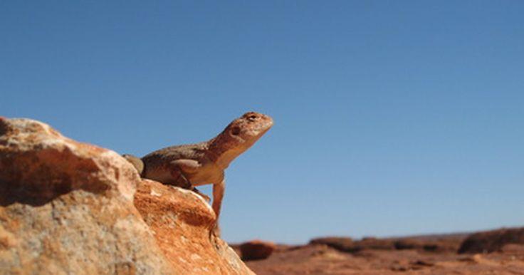 Plantas e animais no deserto da Austrália. Grande parte do continente australiano é composta de deserto. O ambiente é quente e seco, mas plantas e animais ainda vivem lá. Os principais desertos na Austrália são o Deserto Ocidental, o Grande Deserto de Vitória, o Deserto de Gibson e o Deserto de Simpson. As regiões desérticas da Austrália são, na sua maioria, desabitadas, mas há alguns ...
