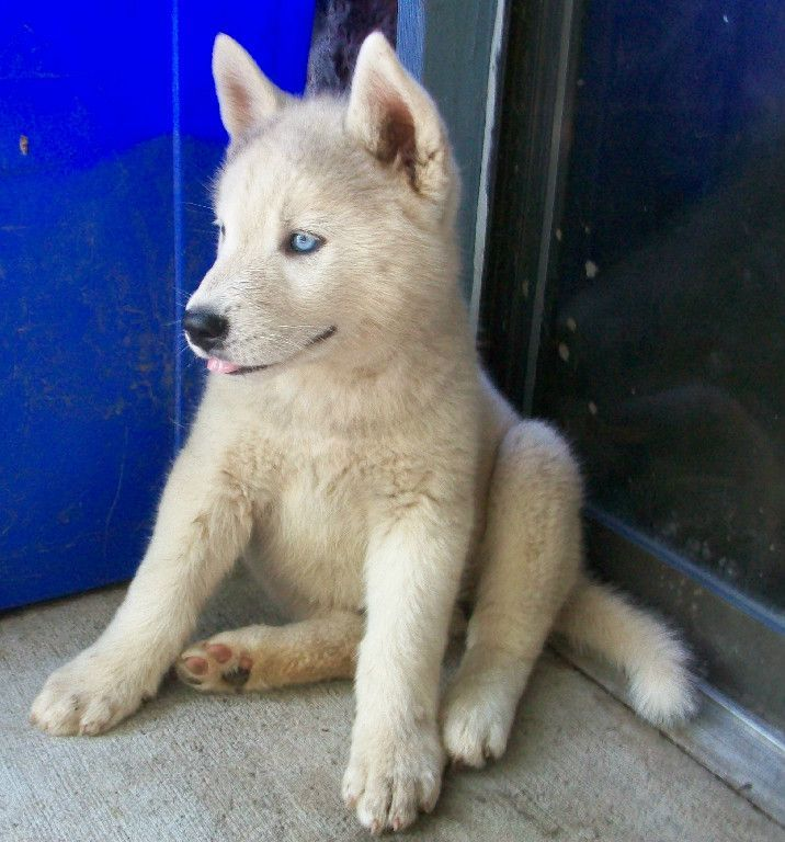 the 25 best husky poodle mix ideas on pinterest cutest