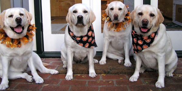 labrador halloween costumes | Lab Puppies In Halloween Costumes Lab rescue halloween costume