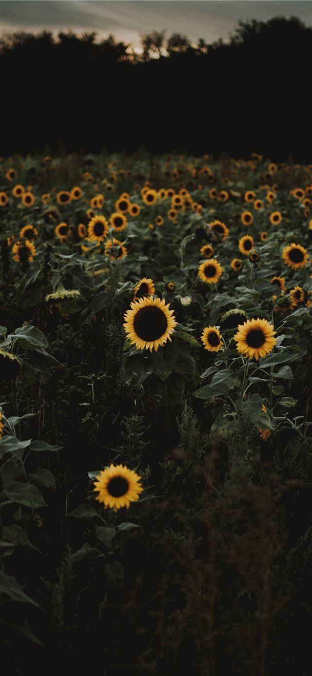 The Road To Freedom Is Bordered With Sunflowers Iphone X Wallpaper Sunflower Iphone Wallpaper Sunflower Wallpaper Halloween Wallpaper Iphone