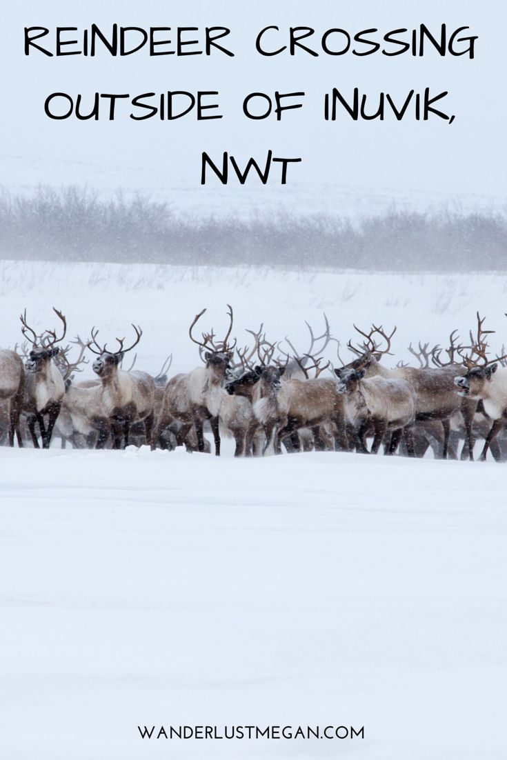 Reindeer Crossing outside of Inuvik, NWT! An incredible experience in Northwest Territories in Canada.