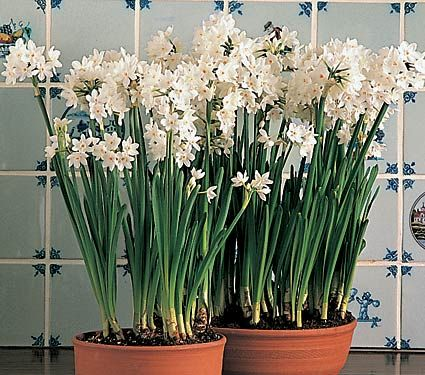 Ziva Paperwhites, 24 Bulbs