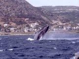 Google Image Result for http://www.atuscanvilla.co.za/images/sidepics2/Whales%2520False%2520Bay_tn.jpg