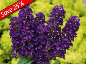Buddleia Black Knight - Butterfly Bush with dark purple flowers, long blooming shrub perfect with