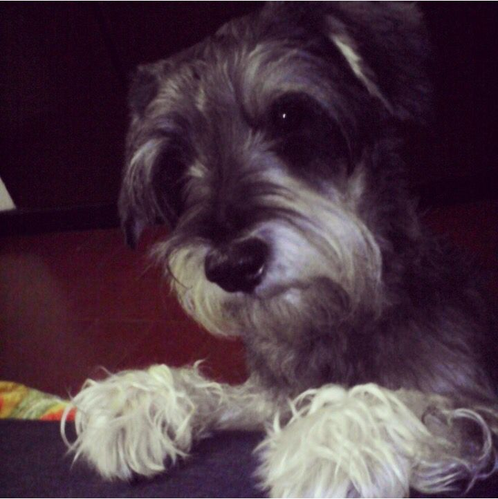 I really miss you sweety #Schnauzer #dog