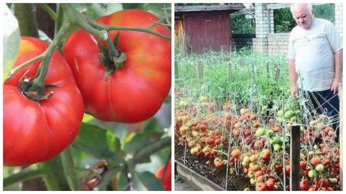 Secretul care te ajută să îți crești producția la roșii. O rețetă veche, sovietică, este în atenția cultivatorilor de tomate din Româniacare s-au documentat din mai multe surse și au a
