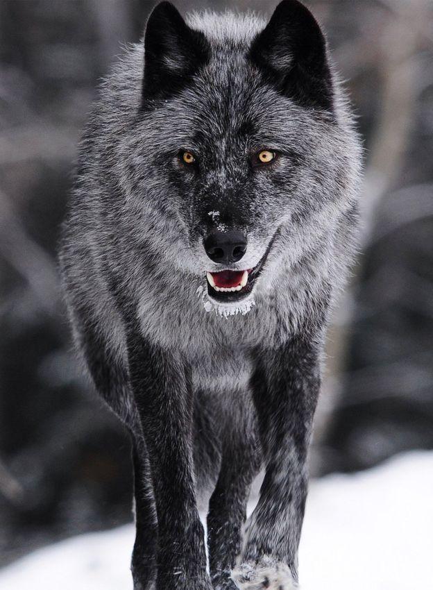 Smoke grey wolf