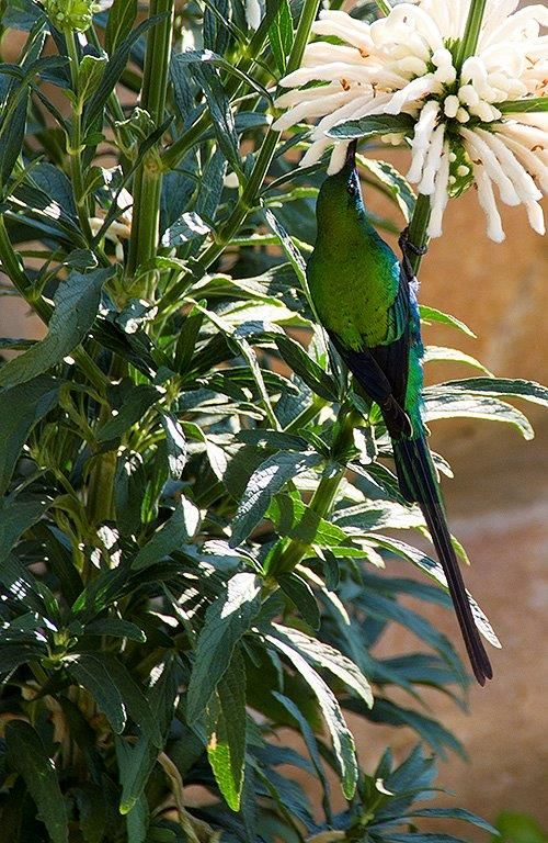 Malachite Sunbird on flowering white Wild Dagga