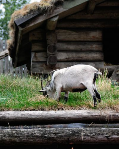 Family-friendly Fun in Parksville Qualicum Beach - Coombs Old Country (Goats on the Roof) Market (Vancouver Island) | bcliving