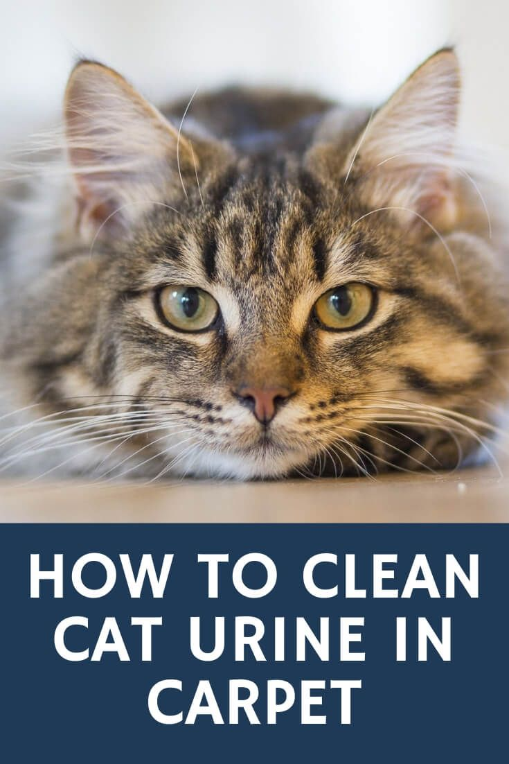 How To Clean Cat Urine In Carpet John S Chem Dry Of Whatcom County Cat Urine Cancer In Cats Cat Fleas Treatment
