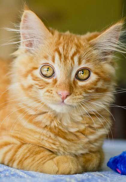 Un gato anaranjado!